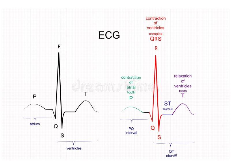 The ECG interpretation. Illustration of ECG interpretation. ECG of a healthy person stock illustration