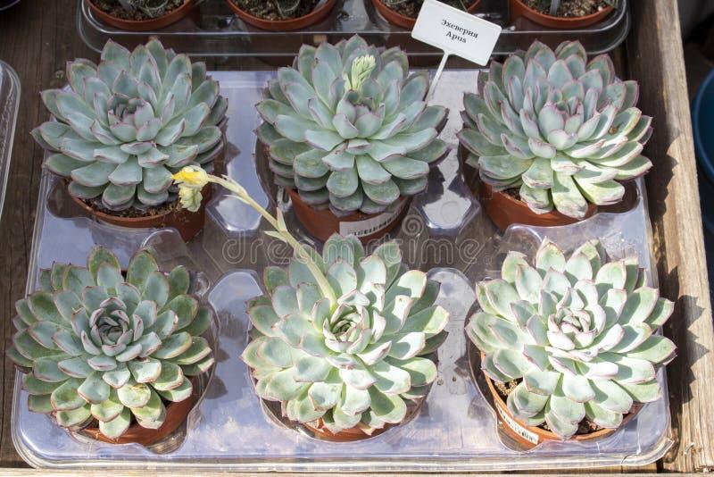 Echeveia Apus in pots for sale. flower shop indoor plants. Non-intrusive succulent. Echeveia Apus in pots for sale. Counter of flower shop indoor plants. Non royalty free stock photography