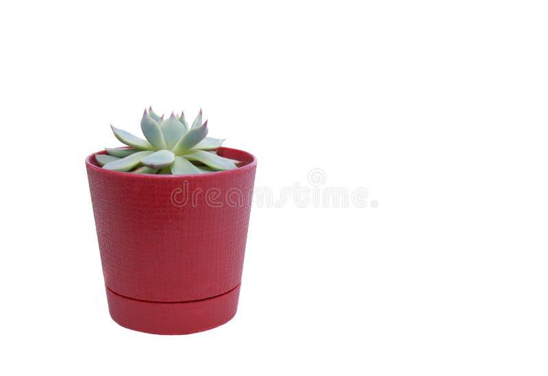 Echeveria colorata i röd kruka på vit bakgrund royaltyfria foton