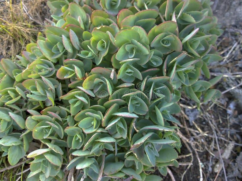 Echeveria de un género de las plantas suculentas del Crassulaceae de la familia foto de archivo libre de regalías