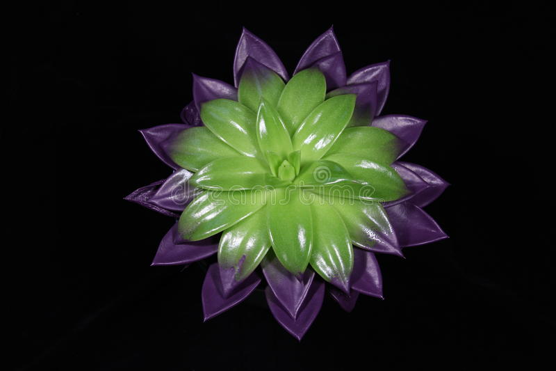 Echeveria Hybride στοκ φωτογραφία