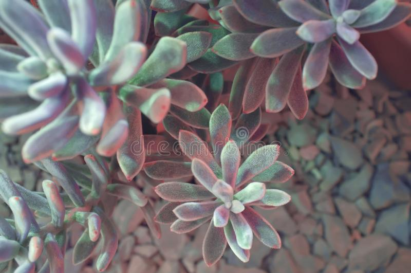 Echeveria leucotricha Chenille Plant. Nature abstract background. Close-up.  stock images