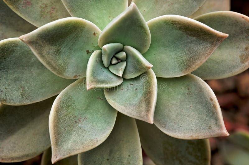 Echeveria Lilacina stockfotografie
