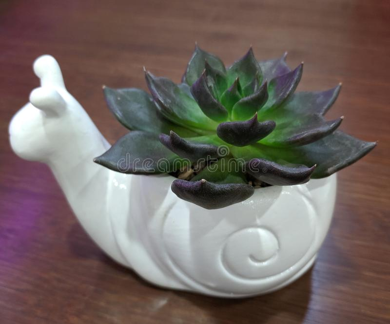 Echeveria noir de prince dans un pot blanc d'escargot sur un fond en bois chaud photo stock