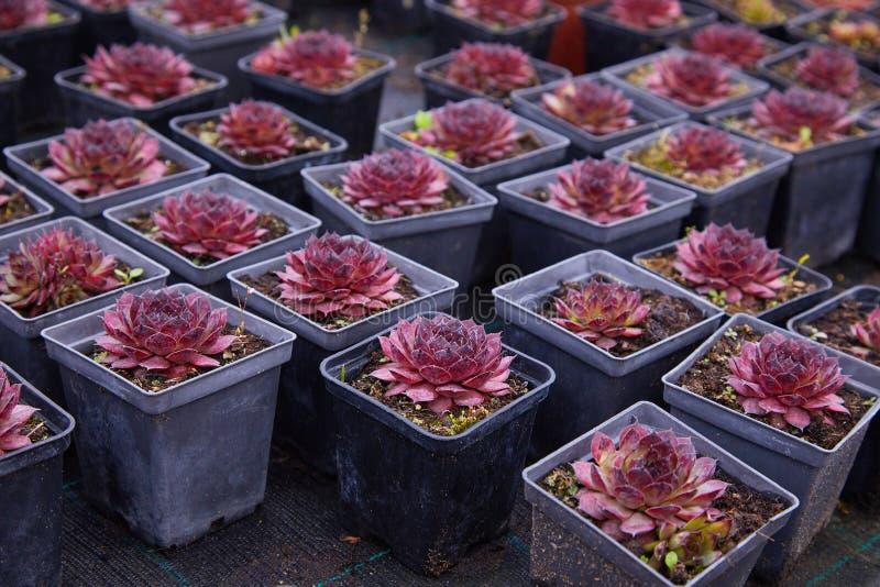 Echeveria púrpura succulant Una flor suculenta formada como una rosa fotografía de archivo libre de regalías