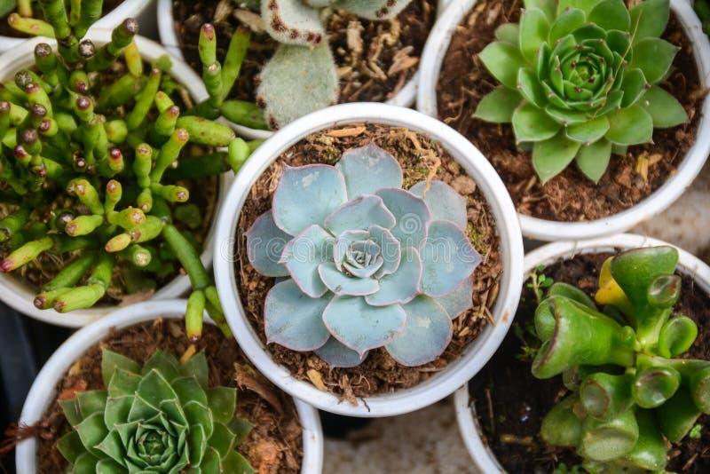Echeveria rośliny zdjęcie stock