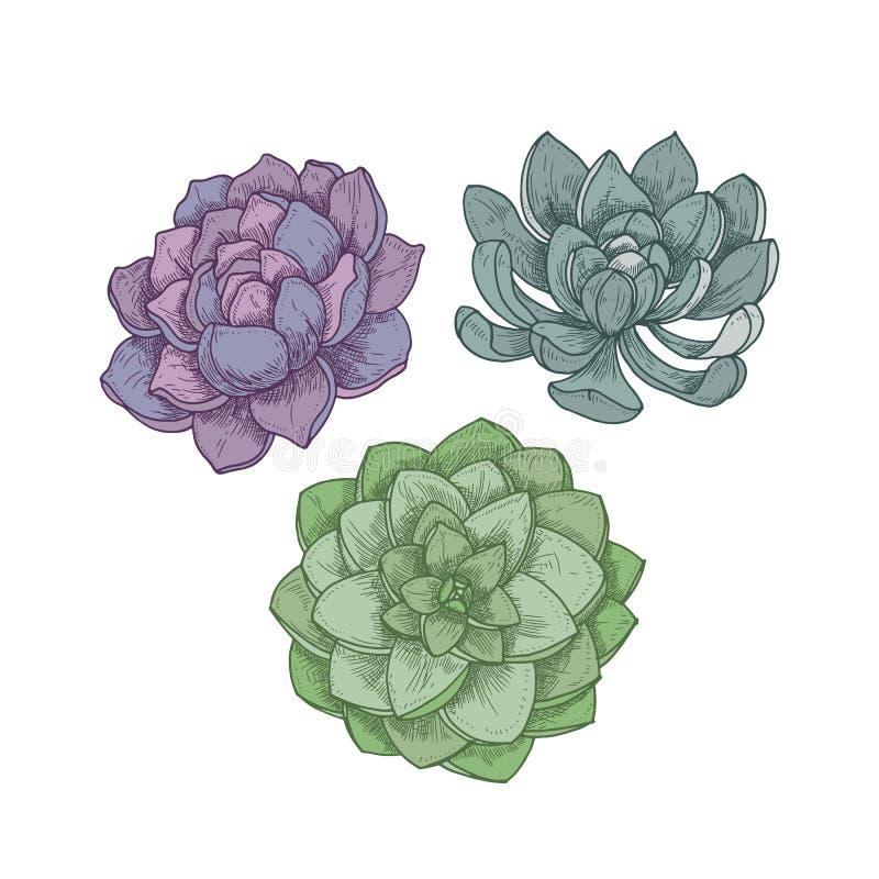 Echeveria rośliny odizolowywać na białym tle Szczegółowy botaniczny rysunek dekoracyjni sukulenty, ręka rysujący naturalny royalty ilustracja
