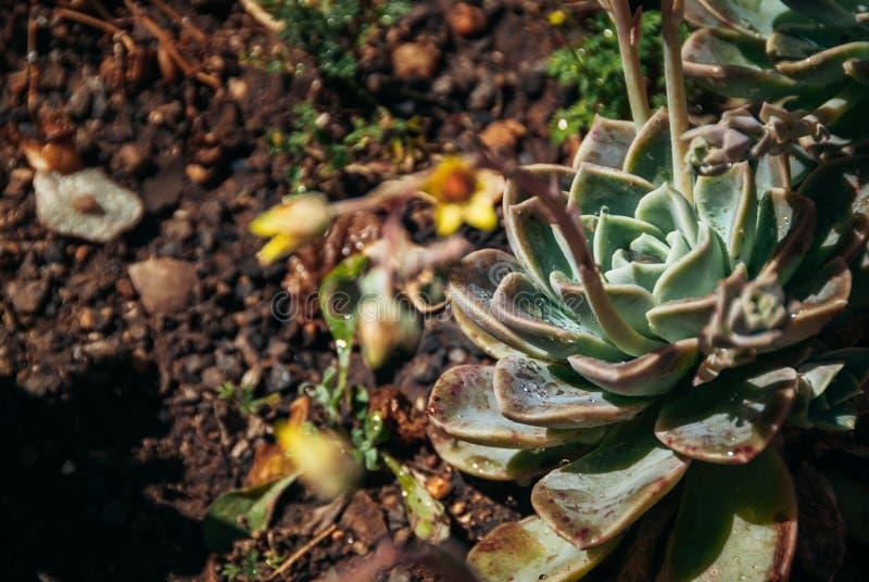 Echeveria succulent plant in midday sun stock photo