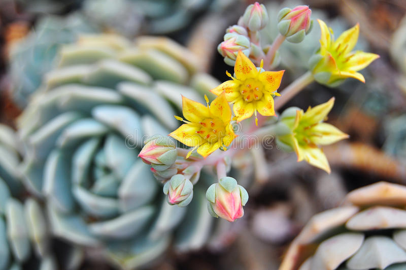 Echeveria växter i blom arkivbilder