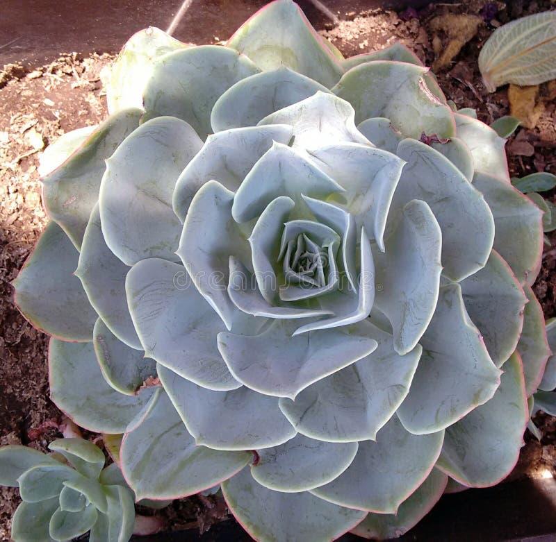 Echeverria-Blume lizenzfreies stockfoto
