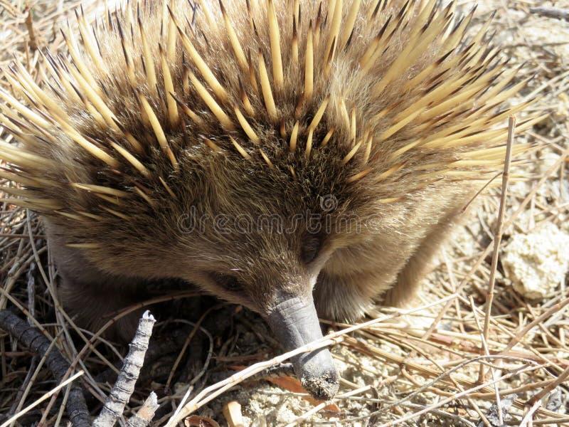 Echidna Curto-bicudo australiano Forgaing fotos de stock