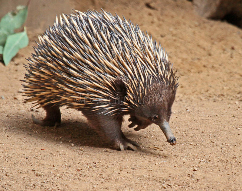 Echidna. Detail Of Australian Spike Covered Marsupial royalty free stock photography