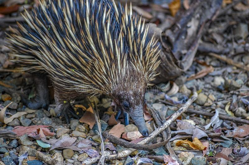 Short-nosed Echidna foraging for insects, ants and termites amongst leaf litter. Queensland, Australia. The echidna is a monotremes, an egg-laying mammal. Its stock photos