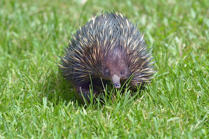 Echidna porcupine walks on green grass stock photo