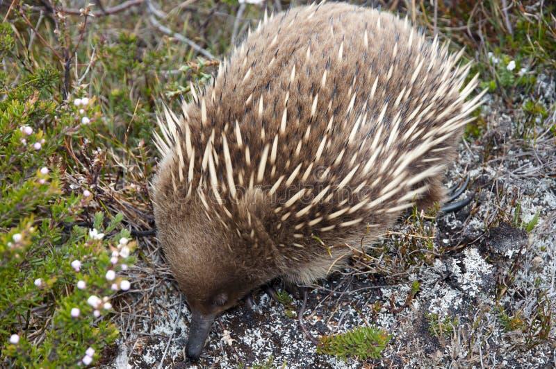 Echidna - Tasmania royalty free stock photos