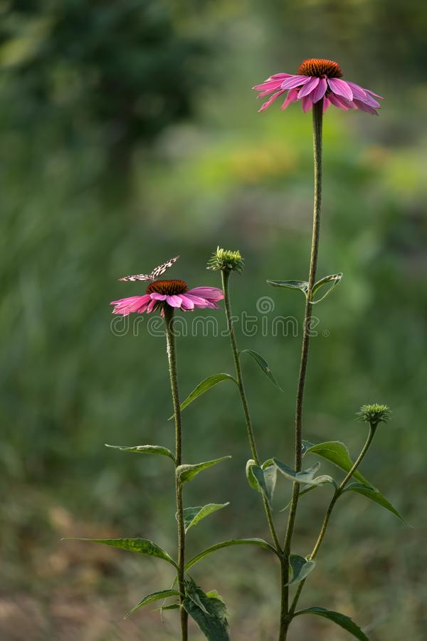 Echinácea purpúrea flowers bloom in the garden and attract many butterflies. Echinacea purpurea is usually grown in mixborders or in separate groups stock photography