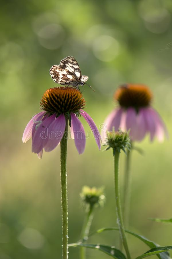 Echinácea purpúrea flowers bloom in the garden and attract many butterflies. Echinacea purpurea is usually grown in mixborders or in separate groups stock photos