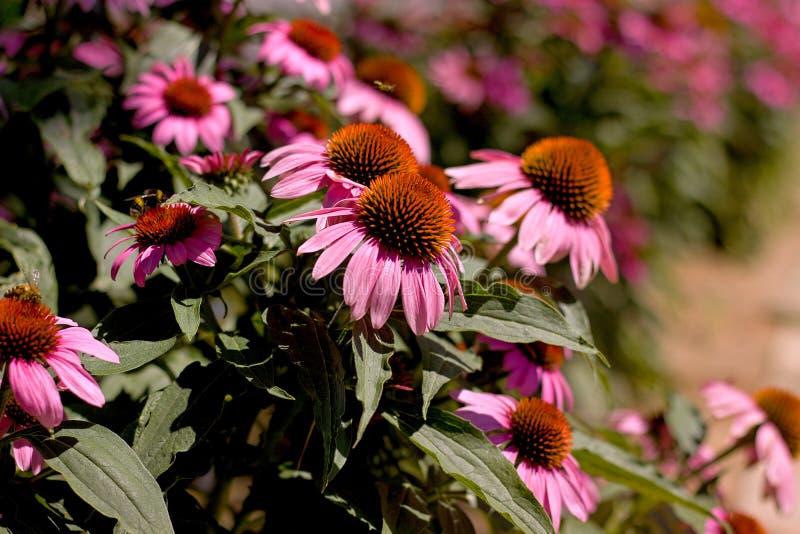 Echinacea photos libres de droits