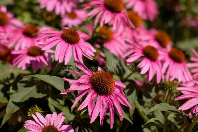 Echinacea image libre de droits