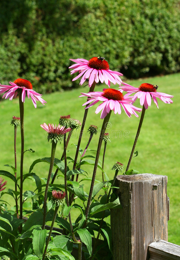 Echinacea photo stock