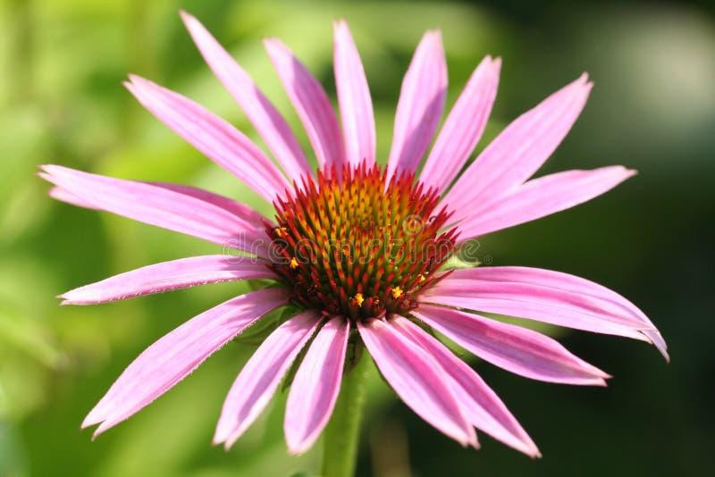 Download Echinacea στοκ εικόνα. εικόνα από ροζ, σύστημα, κήπος - 13189125