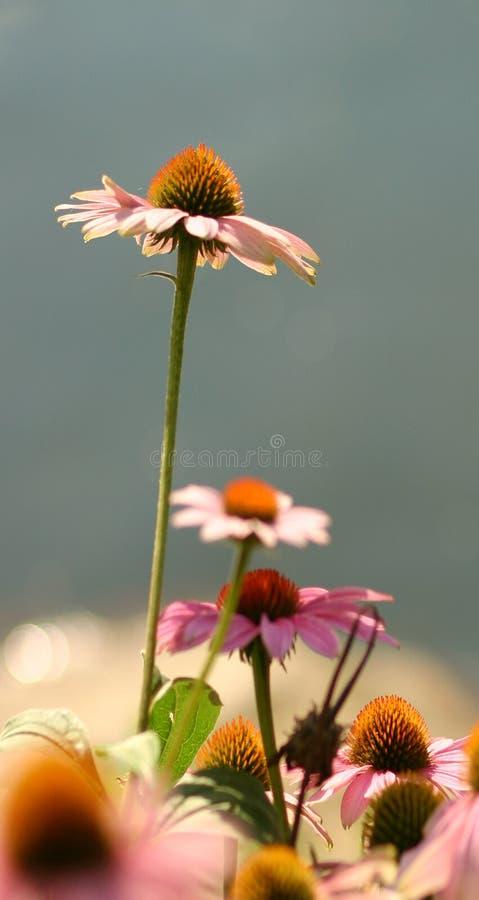 Echinacea imágenes de archivo libres de regalías