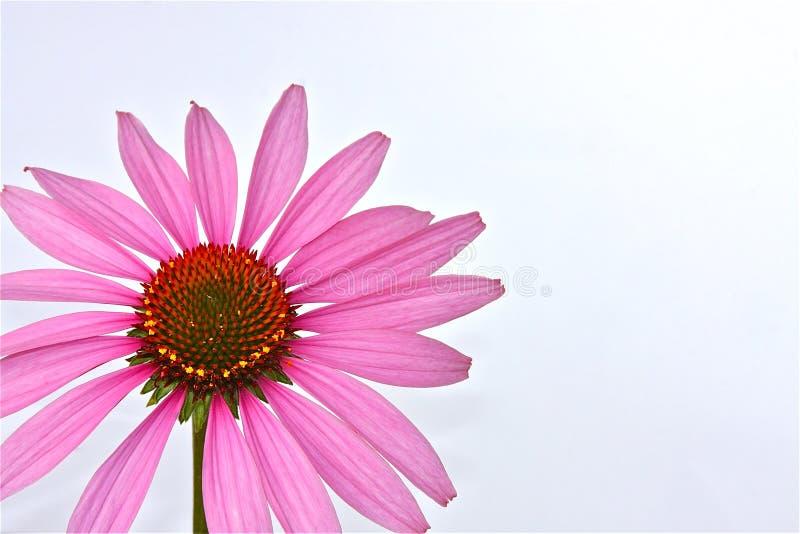 Echinacea immagine stock libera da diritti