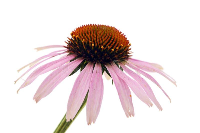 Echinacea στοκ φωτογραφίες με δικαίωμα ελεύθερης χρήσης