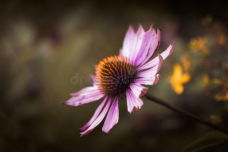 ¡Echinacea! imagen de archivo libre de regalías