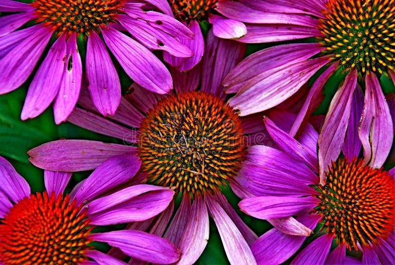 Echinacea royalty-vrije stock foto