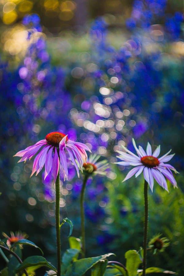Echinacea imagens de stock royalty free
