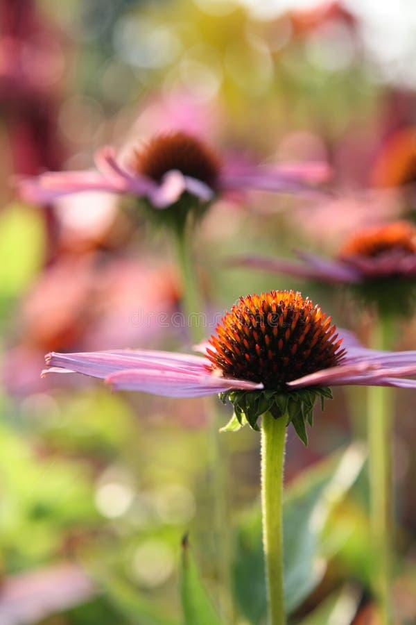 echinacea obrazy royalty free