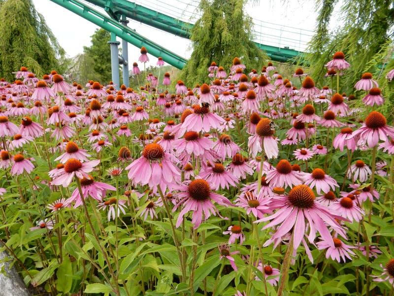 Echinacea royalty-vrije stock fotografie