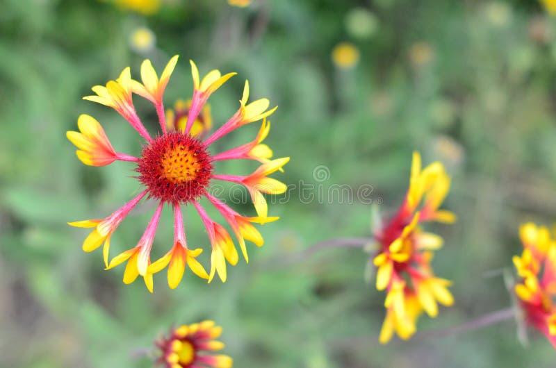 Echinacea royaltyfria foton