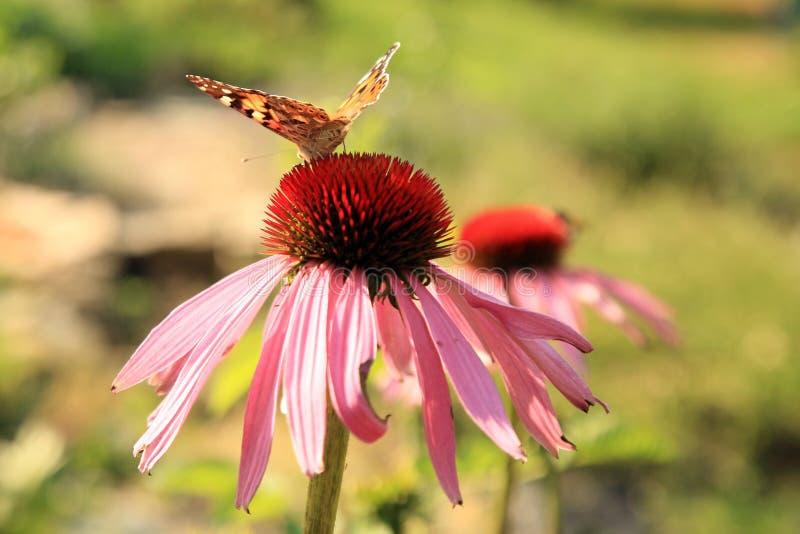Echinacea avec des papillons photographie stock libre de droits