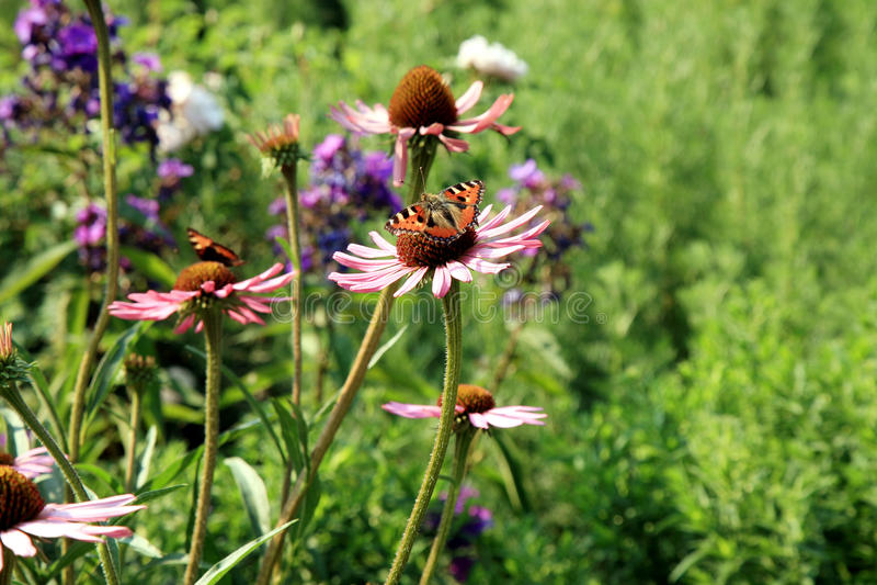 Echinacea avec des papillons image libre de droits