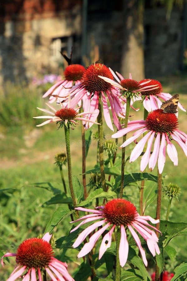 Echinacea avec des papillons photos stock