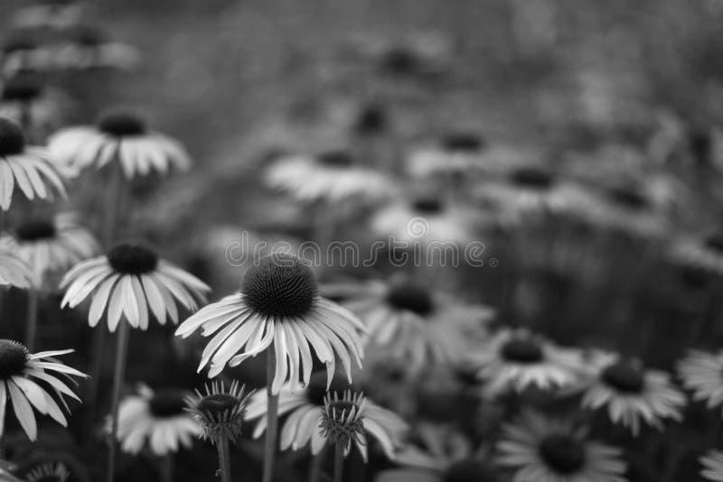 Echinacea B&W fotografía de archivo