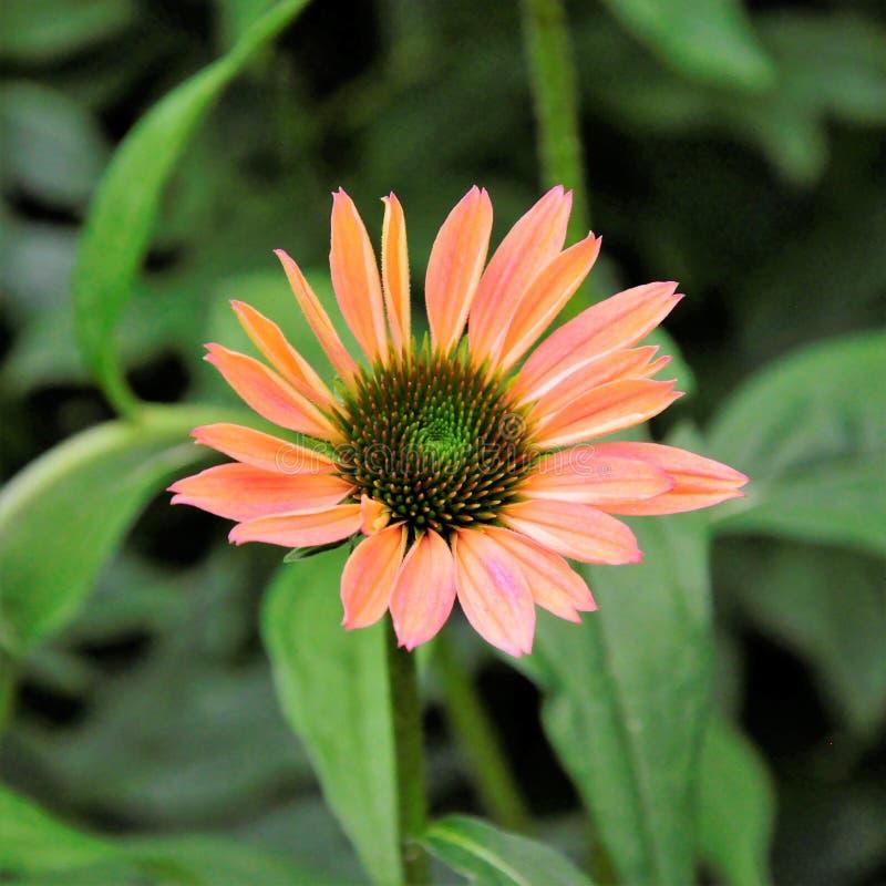 Echinacea da beleza de meu quintal foto de stock royalty free