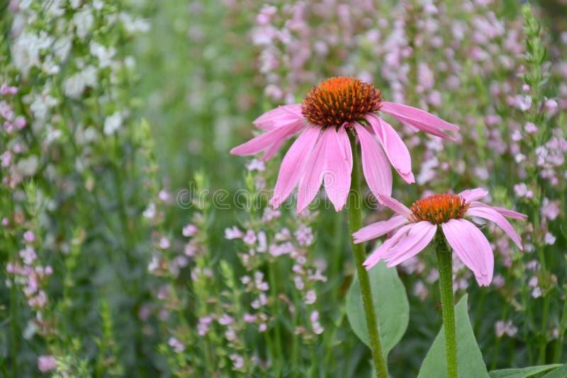 Echinacea e issopo nel prato Erbe curative Piante medicinali e fiori Melliferous fotografie stock libere da diritti