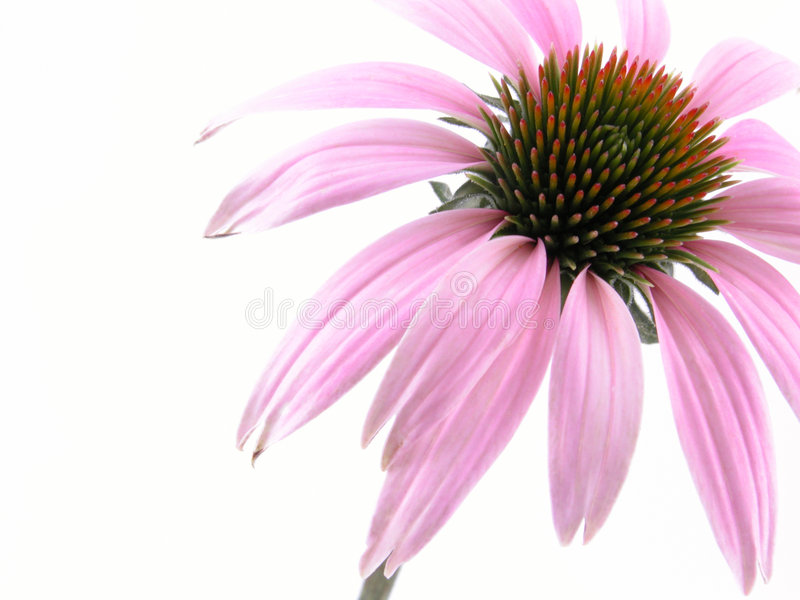 Echinacea flower royalty free stock images