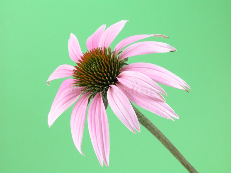 Echinacea flower royalty free stock photography