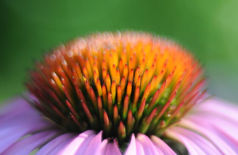 Echinacea Flower Free Public Domain Cc0 Image