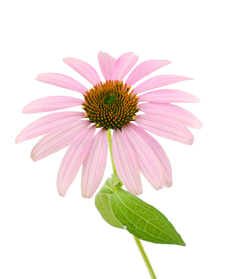 Echinacea Flower (coneflower). On white stock photography
