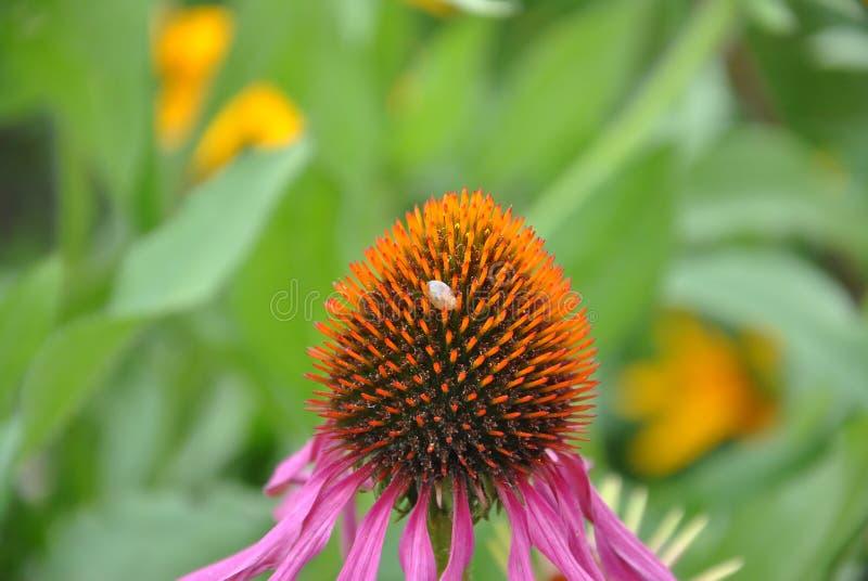 Echinacea flower stock image