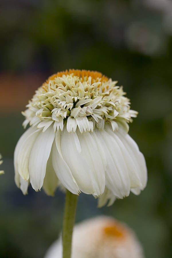 Echinacea Flower royalty free stock image
