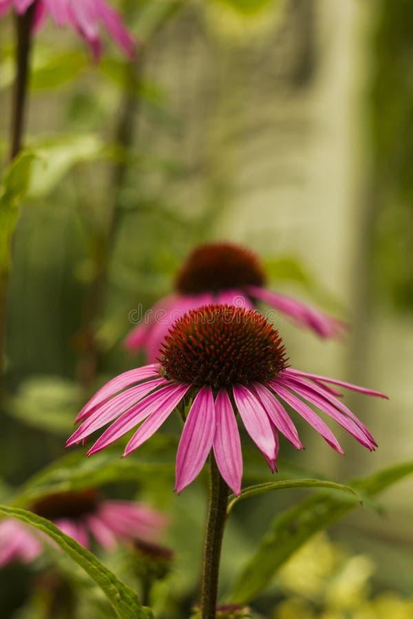 Echinacea flower pink in summer garden stock photos