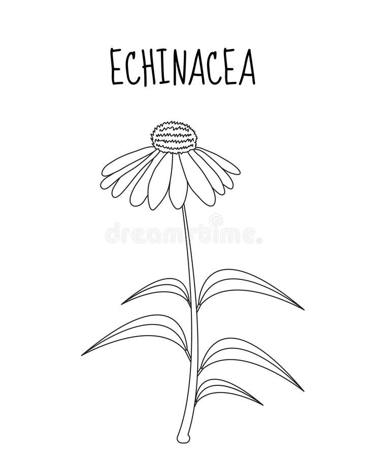 Echinacea Flower Sketch Hand Drawing Medicinal Plant