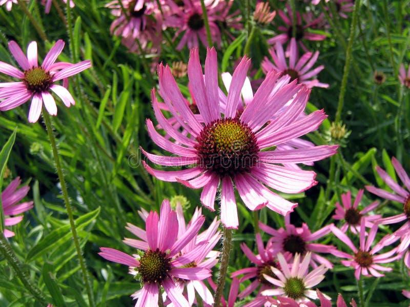 Echinacea flowers royalty free stock photos