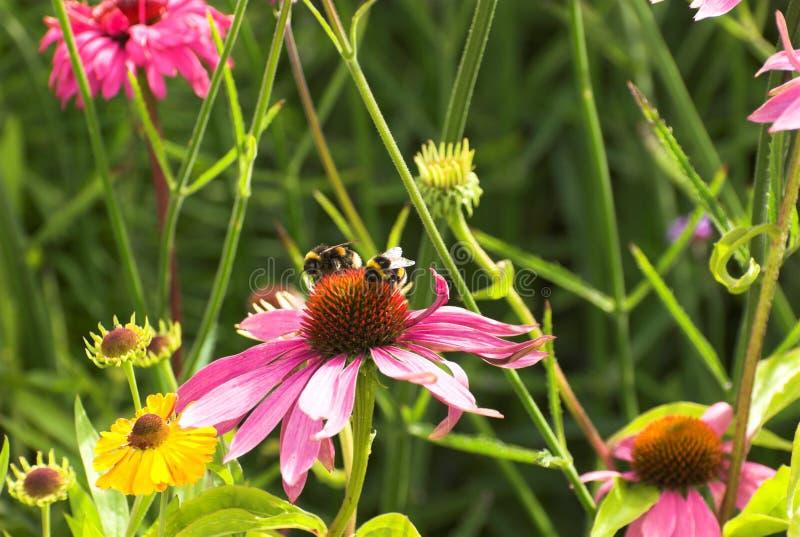 Download Echinacea Flowers stock photo. Image of echinacea, summer - 22707882